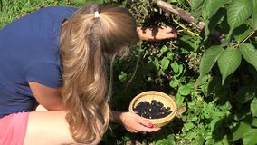 Worker woman girl in shorts gather harvest fresh black berries ripen on farm plantation. 4K stock footage