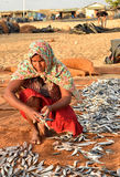 Worker woman picking dried fish. Stock Photo