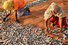 Worker woman sorting dry fish. Royalty Free Stock Photography