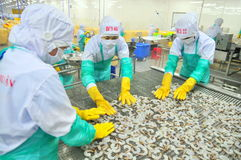 Workers are arranging shrimps in a line to the freezing machine in a seafood factory in Vietnam Stock Photos