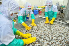Workers are arranging shrimps in a line to the freezing machine in a seafood factory in Vietnam Royalty Free Stock Image