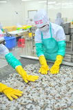 Workers are arranging shrimps in a line to the freezing machine in a seafood factory in Vietnam Royalty Free Stock Photography