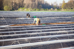 Workers on asparagus field Stock Photography