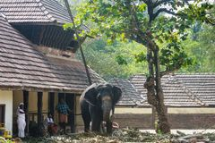 Taking care of elephants, Guruvayoor. Workers attending to an elephant in a sanctuary for elephants known as Punnathurkotta. It is a fort and former palace in Stock Image