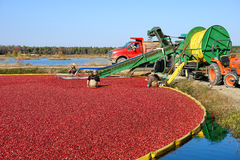 Workers in Bog for Cranberry Harvest in New Jersey royalty free stock images