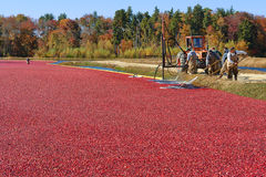Workers in Bog for Cranberry Harvest in New Jersey stock image