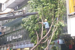 Workers carry typhoon toppled trees. The workers are handling typhoon toppled trees, in Shenzhen, China royalty free stock photo