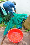 Workers are catching Koi fish broodstocks from ponds to tanks Stock Photos
