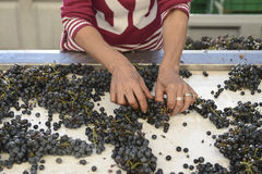 Workers choose grapes for a special wine Royalty Free Stock Photo