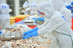 Workers are classifying octopus for exporting in a seafood processing factory Royalty Free Stock Images