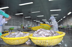Workers are classifying raw fresh octopus to transfer to the next step of processing line in a seafood factory in Vietnam Royalty Free Stock Image