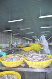 Workers are classifying raw fresh octopus to transfer to the next step of processing line in a seafood factory in Vietnam Royalty Free Stock Photos