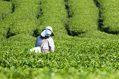 Workers collect tea leaves. At Tea Collection Tea Plantation Stock Photography