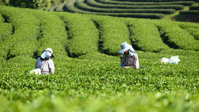 Workers collect tea leaves. At Tea Collection Tea Plantation Royalty Free Stock Photography