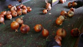 Line for Selection of Onion. Workers on the conveyor belt select  of the domestic red onion stock footage