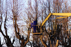 workers cut branches and trims a trees limes using the lift in the park. Royalty Free Stock Photos