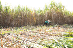 Workers cutting cane on sugarcane fields. In Thailand Royalty Free Stock Image