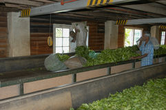 Workers Drying Tea Inside Of Tea Factory Near Kandy Royalty Free Stock Photography
