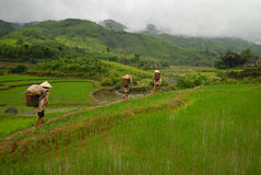 Workers entering rice paddy Royalty Free Stock Image