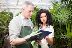 Workers examining plants. In a greenhouse Royalty Free Stock Photography