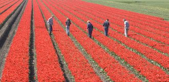 Workers in the field. Dutch boys and girl working in a tulip field Royalty Free Stock Images