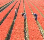 Workers in the field. Dutch workers with tulips Stock Image