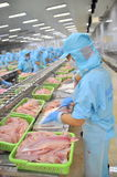 Workers are filleting pangasius catfish in a seafood factory in the Mekong delta of Vietnam Royalty Free Stock Photos