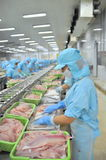 Workers are filleting pangasius catfish in a seafood factory in the Mekong delta of Vietnam Royalty Free Stock Image
