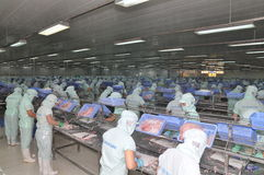 Workers are filleting of pangasius catfish  in a seafood processing plant in An Giang, a province in the Mekong delta of Vietnam Royalty Free Stock Photos