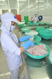 Workers are filleting pangasius fish in a seafood processing plant in Tien Giang, a province in the Mekong delta of Vietnam Royalty Free Stock Photography