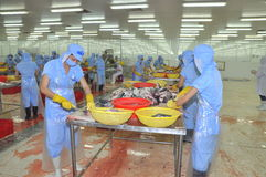 Workers are filleting pangasius fish in a seafood processing plant in Tien Giang, a province in the Mekong delta of Vietnam Royalty Free Stock Photos
