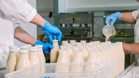 Workers filling a milk in bottles by hands at milk factory. Workers filling a milk in bottles and closing it with cap by hands at milk factory. Production line royalty free stock photo