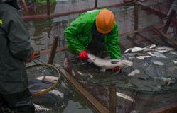 Fish pond fishing. The workers in the fishing ground were wearing waterproof clothes and fishing in the river royalty free stock photography