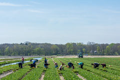 Workers in the flower fields Royalty Free Stock Photography