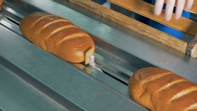 Fresh and soft baguette bread loaded into a packing line. Workers gloved hands load fresh short white bread into a packing machine stock video footage