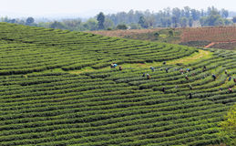 Workers in a green field harvesting the green tea Stock Photo
