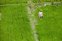 Workers in green rice field royalty free stock images