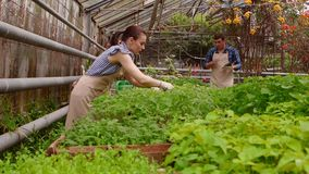 Workers in greenhouse, woman agronomist with tablet inspected seedlings, man gardener is watering plants. Working in greenhouse, Professional woman agronomist stock video