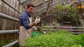Workers in greenhouse, woman agronomist with tablet inspected seedlings, man gardener is watering plants. Working in greenhouse, Professional woman agronomist stock video footage
