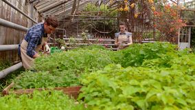 Workers in greenhouse, woman agronomist with tablet inspected seedlings, man gardener is watering plants. Working in greenhouse, Professional woman agronomist stock footage