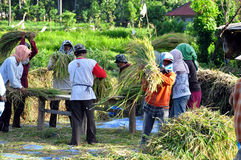 Workers in harvest rice. Indonesian workers separating the grain of rice Amed Bali Royalty Free Stock Images