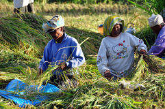 Workers in harvest rice Royalty Free Stock Photography