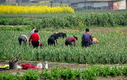 Pengzhou, China: Farmers Harvesting Garlic Royalty Free Stock Photos