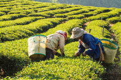 Workers harvesting green tea leaves in a tea plantation. Stock Photos