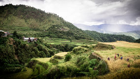 Workers Harvesting Rice in the Maligcong Mountain Terraces. People harvesting the Maligcong rice terraces of the Philippines, while storm clouds gather in Royalty Free Stock Photos