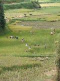 Workers harvesting rice in Tana Toraja Royalty Free Stock Image