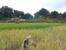 Workers harvesting rice in Tana Toraja Stock Photography