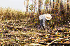 Workers harvesting sugarcane Royalty Free Stock Photos