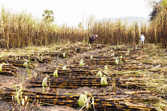 Workers harvesting sugarcane Stock Image