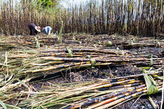 Workers harvesting sugarcane Royalty Free Stock Photo